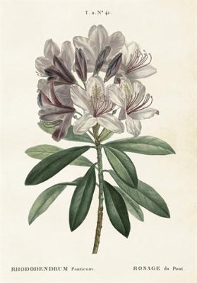 Skolplansch Rhododendron - Nostalgiska.se