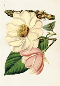 Skolplansch Magnolia - Nostalgiska.se