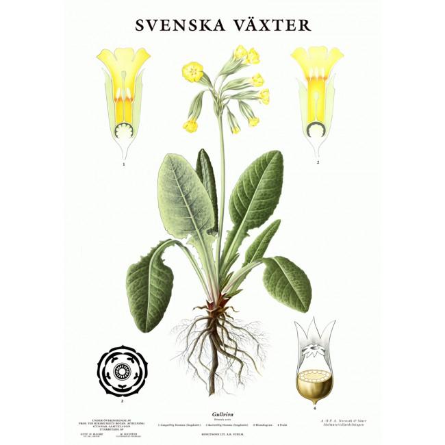 Skolplansch Gullviva - Nostalgiska.se